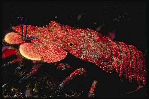 Slipper lobster wants to be your friend.
